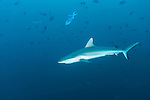 Miyaru Kandu, Alimatha Island, Felidhoo Atoll, Maldives; a Gray Reef Shark swimming in blue water amongst Redtooth Triggerfish