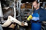 """Foto: VidiPhoto<br /> <br /> MAURIK – Ondanks de hittegolf moet klauwverzorger Niels Copier uit Wanoijen maandag aan het werk bij melkveehouder en lto-bestuurder Joost van den Anker in Maurik. Door hittestress krijgen veel koeien nauwelijks rust, met als gevolg ontstekingen aan de poten. De ontstoken koeienklauwen worden schoongemaakt en voorzien van een blokje aan de gezonde zijde van de klauw om het zieke deel te ontlasten. Door de hete zomers de laatste drie jaar en de gevolgen daarvan voor de poten van het melkvee, werkt Copier zich bij zijn 130 klanten een slag in de rondte. De oplossing voor het klauwprobleem is volgens hem meer ventilatie, ruime, schone ligboxstallen en een voetbad. """"De boeren willen wel, maar door de lage melkprijs en overheidsmaatregelen is er nauwelijks geld om te investeren."""""""