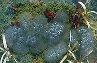 Grasfrosch, Gras-Frosch, Frosch, Laich schwimmt auf der Wasseroberfläche, Laichballen, Eier, Ei, Rana temporaria, Commen Frog, Grass Frog