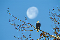 Bald eagle and moon, November.