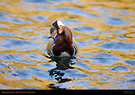 Mandarin Confusion, Mandarin Duck, Male Drake, Franklin Canyon, Southern California