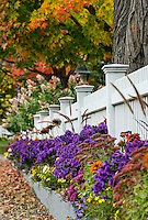 Charming white picket fence with colorful autumn trees and flowers, Grafton, Vermont, USA