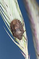 Gemeine Getreidewanze, auf Getreide, Roggen, Getreide-Wanze, Europäische Breitbauchwanze, Gras-Schildwanze, Getreideschädling, Eurygaster maura, Wheat bug, Cereal bug