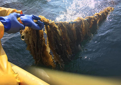 Alaria esculenta being brought to the surface on a long line | Credit: IMPAQT