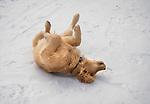 Golden retriever in winter rolling in snow.