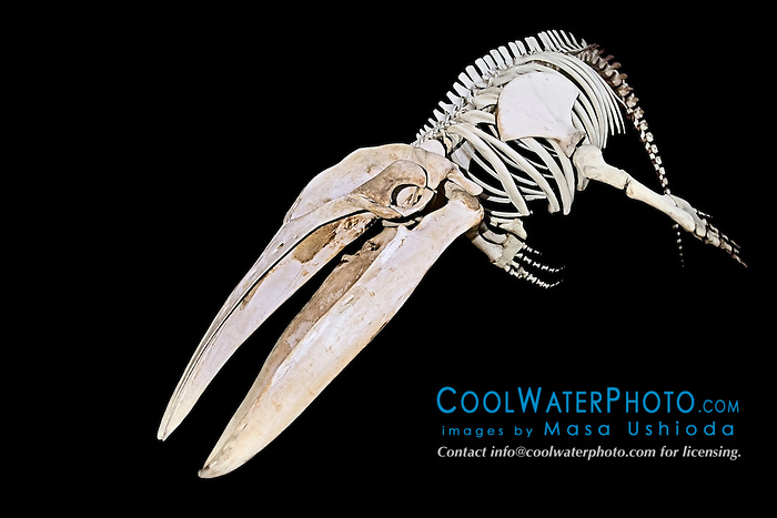 skeleton of humpback whale, Megaptera novaeangliae, Hawaii, USA