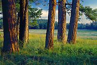 Ponderosa pines<br /> Rocky Prairie<br /> White Mountains<br /> Colorado Plateau,  Arizona
