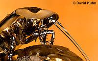 0105-0902  Giant Cave Cockroach, Adult Close-up of Head, Blaberus giganteus  © David Kuhn/Dwight Kuhn Photography