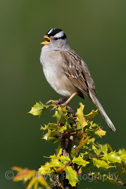 White-crowned Sparrow (Zonotrichia leucophrys). Oregon, May.