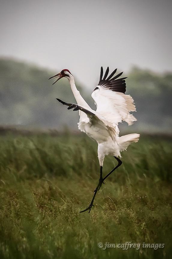 A Whooping Crane dancing in a farm field near High Island, Texas