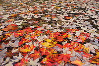 Bigtooth Maples (Acer grandidentatum), autumn leaves in creek, Lost Maples State Park, Hill Country, Central Texas, USA