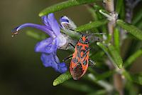 Zimtwanze, Zimt-Wanze, Corizus hyoscyami, Glasflügel-Wanze, Glasflügelwanze, Black and Red Squash Bug, Cinnamon bug, Glasflügelwanzen, Rhopalidae