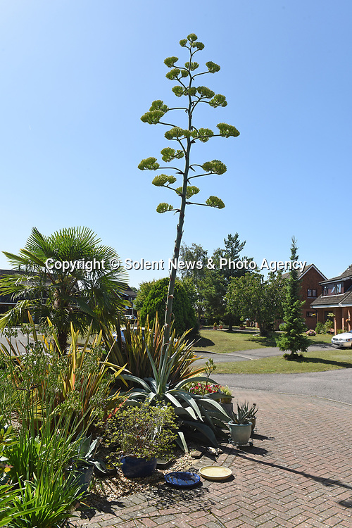 Pictured:  Rob and Julie Crook's giant agave.<br /> <br /> An exotic 'tequila plant' has suddenly rocketed to 25ft in height after mysteriously sprouting in a couple's front garden after two decades lying dormant.  The giant agave's stalk unexpectedly began shooting up 12 weeks ago and now towers over owners Rob and Julie Crook's two-storey home in a little cul-de-sac.<br /> <br /> The grandparents-of-two have been left stunned by the plant's 'Jack and the Beanstalk' type growth after planting it in 2005.  Mrs Crook was gifted a six-inch pup - an offspring of the parent plant - by a friend 20 years ago after her fascination with the asparagus-like shrub.<br /> <br /> But the 59-year-old said she never expected the agave to grow to such heights at the front of the couple's home in the small Hampshire village of Charlton.  SEE OUR COPY FOR DETAILS.<br /> <br /> © Solent News & Photo Agency<br /> UK +44 (0) 2380 458800