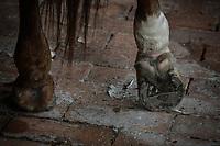 VILLAVICENCIO - COLOMBIA. 13-10-2018: Un caballo deja ver su herradura durante el 22 encuentro Mundial de Coleo en Villavicencio, Colombia realizado entre el 11 y el 15 de octubre de 2018. / A horse lets see his horseshoe during the 22 version of the World  Meeting of Coleo that takes place in Villavicencio, Colombia between 11 to 15 of October, 2018. Photo: VizzorImage / Gabriel Aponte / Staff