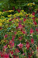 Aquilegia canadensis - Eastern red columbine, flowering in Claire Gargalli garden
