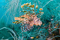 red lionfish or common lionfish, Pterois volitans, swimming through black coral, Antipathes sp., Triton Bay, West Papua, Indonesia, Indo-Pacific Ocean