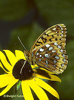 LE29-002a  Butterfly - Great Spangled Fritillary on Black eyed Susan - Speyeria cybele