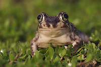 Couch's Spadefoot, Scaphiopus couchii, adult, Willacy County, Rio Grande Valley, Texas, USA, June 2006