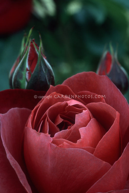 Rose 'Hot Chocolate' hybrid tea rose in deep mahogany red, closeup with rosebud