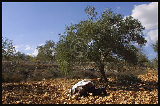 Abdul Jabar Jamil prays in his land between olive trees in the Palestinian village of Sinjin in the West Bank, November 4, thanks to the Jewish organization Rabbis for Human Rights Abdul Jamil riched his land in order to harvest the olive trees. Photo by Quique Kierszenbaum