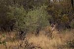 Greater Kudu (Tragelaphus strepsiceros) female in bushveld, Kruger National Park, South Africa