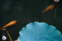 Lotos und Goldfische  im Lou Lim Ioc -Garten, Macao, China, Unesco-Weltkulturerbe