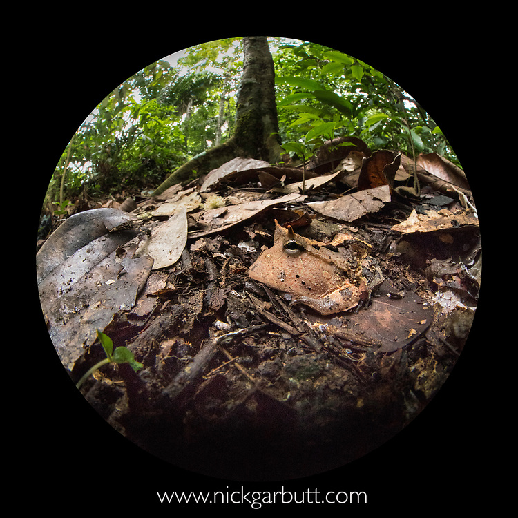 Amazon or Surinam horned frog (Ceratophrys cornuta) (Ceratophryidae) lying camouflaged in the leaf litter. Manu Biosphere Reserve, lowland Amazon rainforest, Peru. Photographed with 8mm circular fish-eye lens.