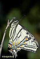 SB01-003a  Butterfly - Tiger Swallowtail - Pterourus glaucus