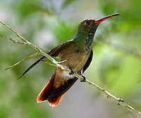 Adult male buff-bellied hummingbird on twig