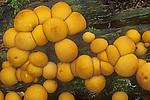 pear shaped puffballs