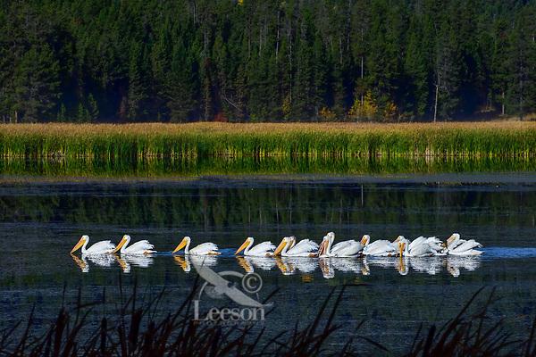 American White Pelicans (Pelecanus erythrorhynchos) on Silver Lake, Harriman State Park, Idaho.  Fall.