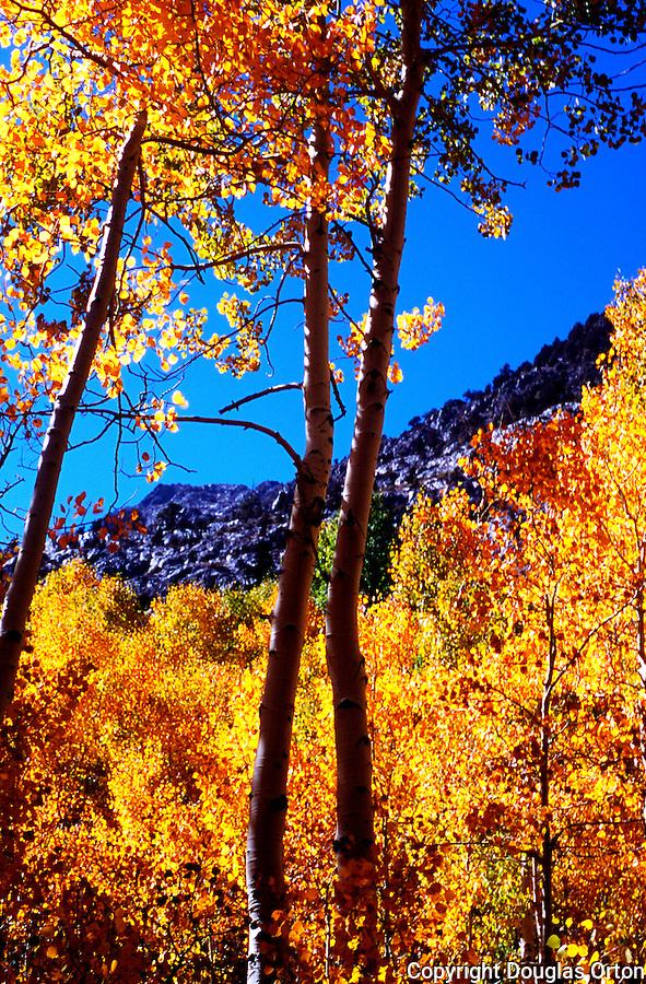 Aspen trunks in June Lake Basin with leaves shimmering in wind.