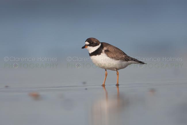 Semipalmated Plover (Charadrius semipalmatus), Nickerson Beach, Lido Beach, NY