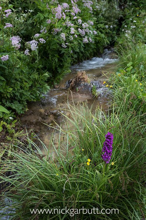 Broad-leaf Marsh Orchid (Dactylorhiza majalis) growing along Alpine meadow stream. Nordtirol, Tirol, Austrian Alps, Austria, 1800 metres, July.