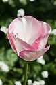 Tulip 'Rosy Bouquet' (Triumph Group), late April.