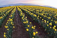 Field of yellow daffodils, Mount Vernon, Skagit Valley, Skagit County, Washington, USA