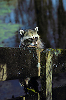 Raccoon (Procyon lotor).  Pacific Northwest..Spring.  On old fence.