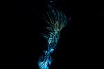 Free swimming barnacle Ambon