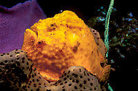 longlure frogfish, Antennarius multiocellatus, note fishing lure on head, Dominica, Caribbean Sea, Atlantic Ocean