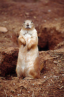 Prairie dog at Custer State Park, South Dakota