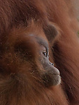 Orang Utans - People of the rain forest