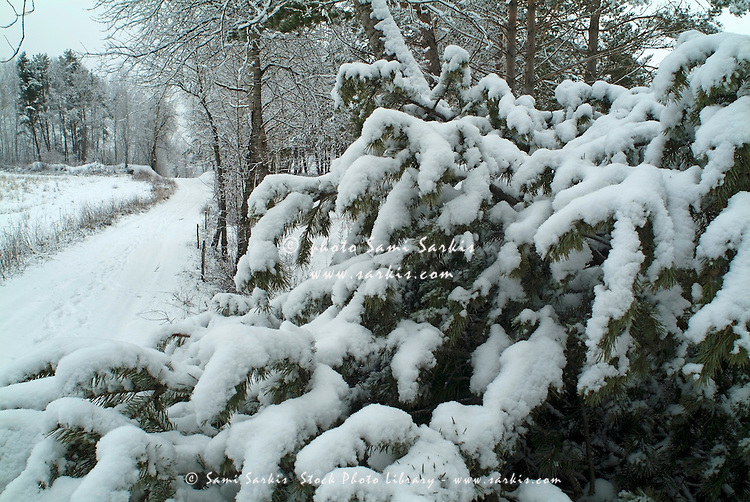 Snowy path through a forest of fir trees, Selonnet, French Alps, France.