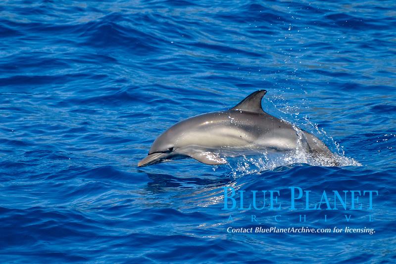 short-beaked common dolphin, Delphinus delphis, calf, jumping, Azores Islands, Portugal, North Atlantic Ocean