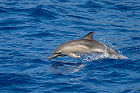 short-beaked common dolphin, Delphinus delphis, calf, jumping, Azores Islands, Portugal, North Atlantic Ocean