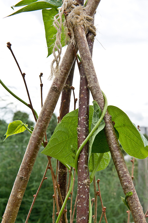 Climbing French bean 'Extra Hatif de Juliet' coiling itself around hazel poles, mid July.
