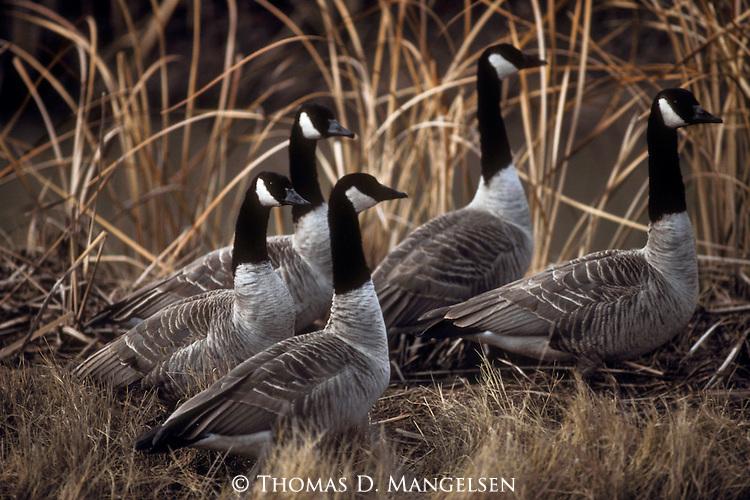 Small flock of canada geese walk together through reeds in Denali National Park, Alaska.