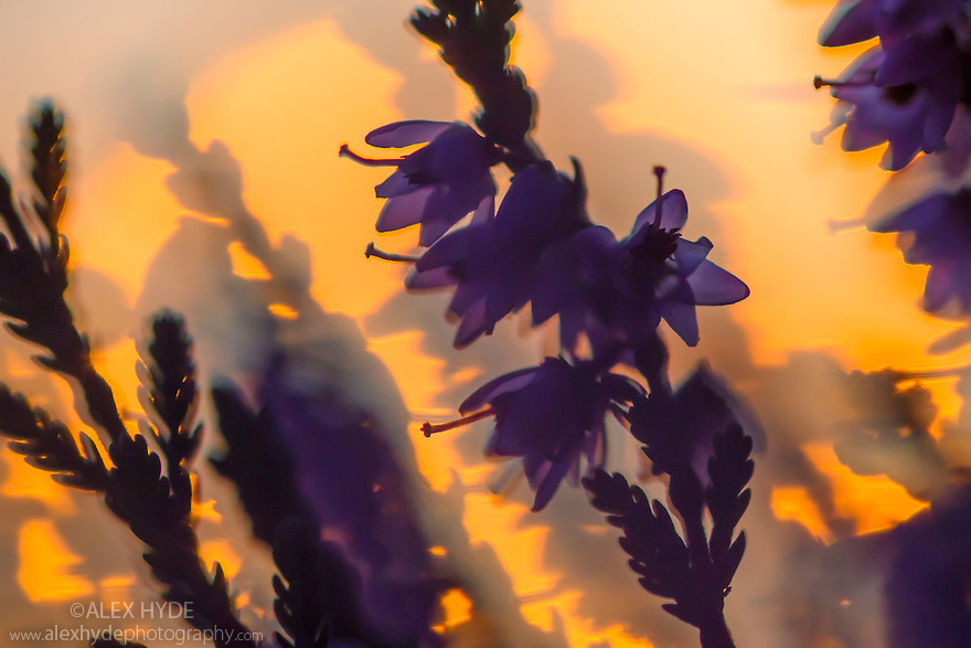 Ling Heather {Calluna vulgaris} at sunset. Peak District National Park, Derbyshire, UK. August.
