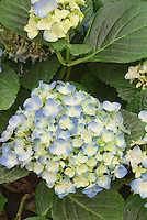 Hydrangea macrophylla Joseph Banks