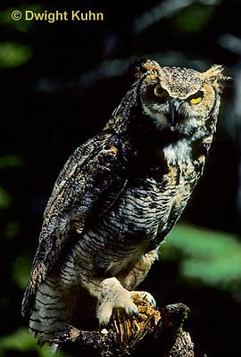 OW06-013z  Great horned owl - Bubo virginianus