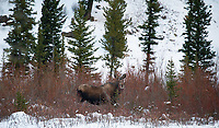 Not many views of moose in the park, but we had a couple of good encounters near our property in Silver Gate.
